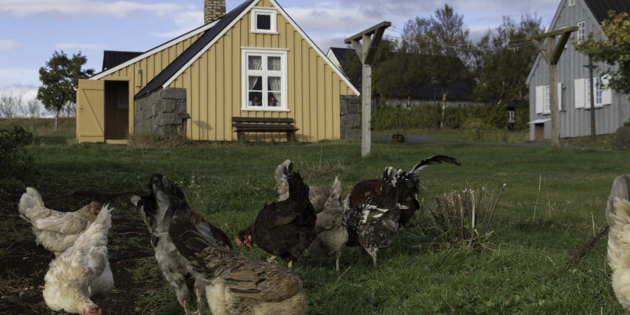 Landnámshænur á Árbæjarsafni /The Icelandic hens at Árbær Open Air Museum