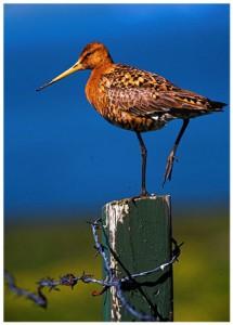A bird in Viðey Island